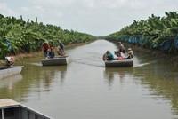 Mô hình trồng chuối xuất khẩu tại Nông trường Sông Hậu, ảnh Phú Khởi