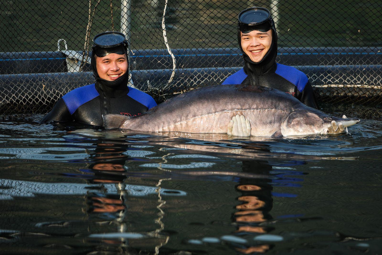 Siêu cá tầm Beluga xuất hiện tại một trang trại cá ở Sơn La.