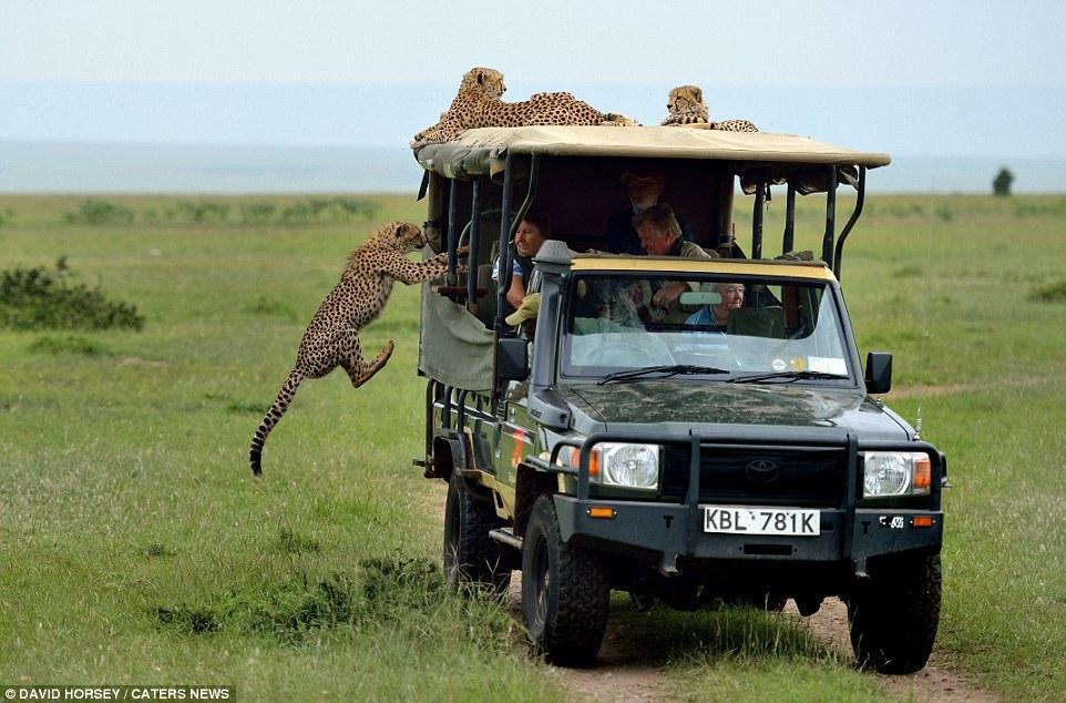 Một pha nhảy xe để làm quen với con người không thể ấn tượng hơn của đàn báo săn