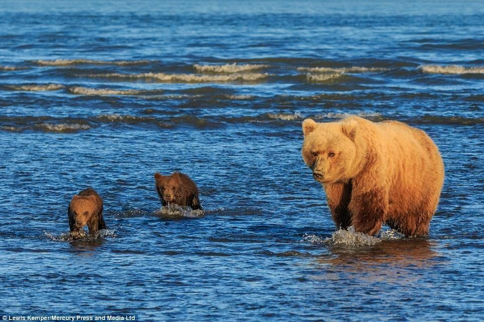 Mê mẩn khoảnh khắc đôi gấu con khoác tay, cùng nhau ngóng trông gấu mẹ đi săn mồi ảnh 1