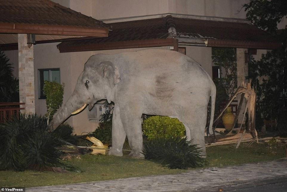 """Vào nhà không xin phép, chú voi nặng hơn 4 tấn suýt bị mèo mướp """"tẩn"""" cho một trận ảnh 2"""