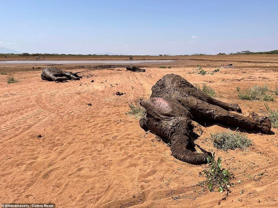 Nhiệm vụ đặc biệt: Giải cứu đàn voi châu Phi to lớn bị mắc kẹt trong đầm lầy ảnh 4