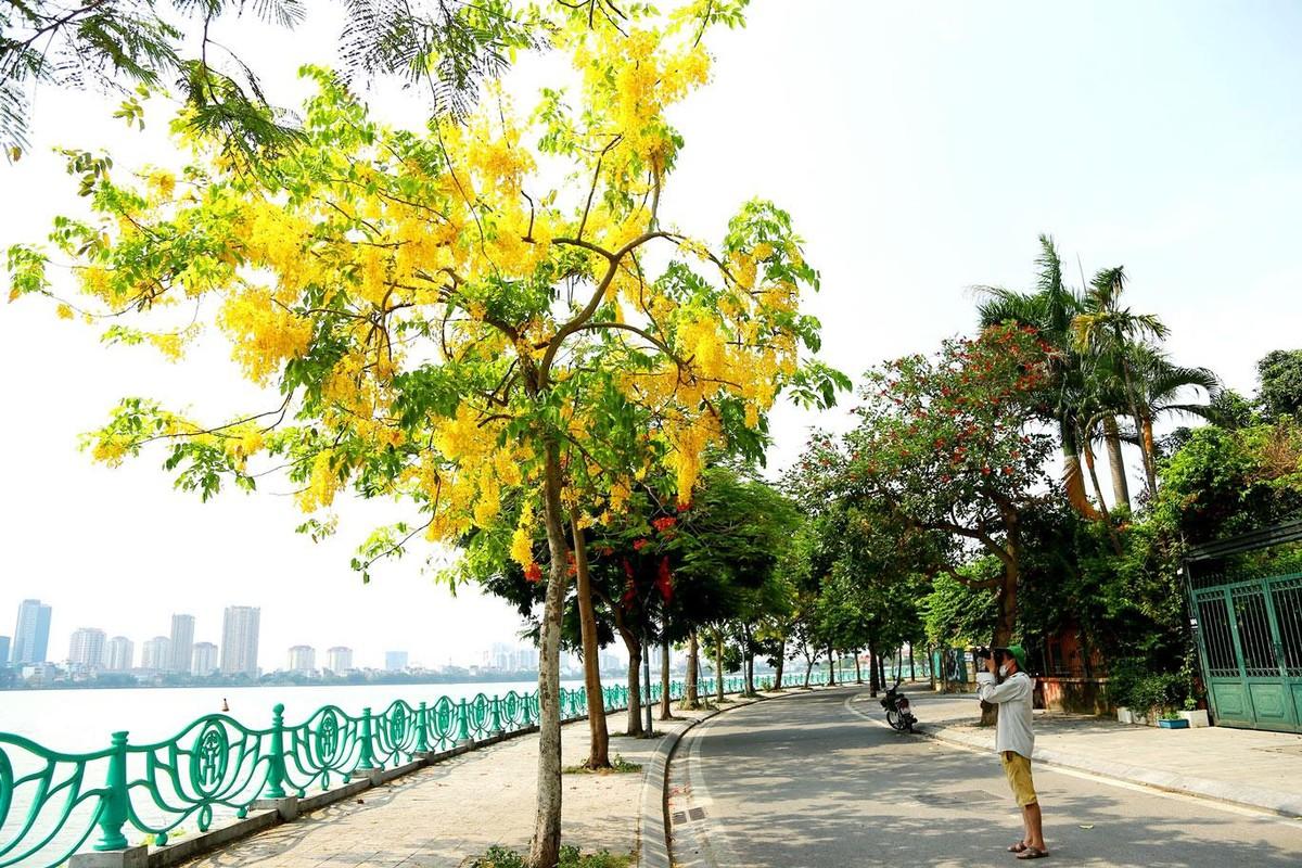 Muồng hoàng yến khoe sắc khắp phố phường Hà Nội ảnh 1