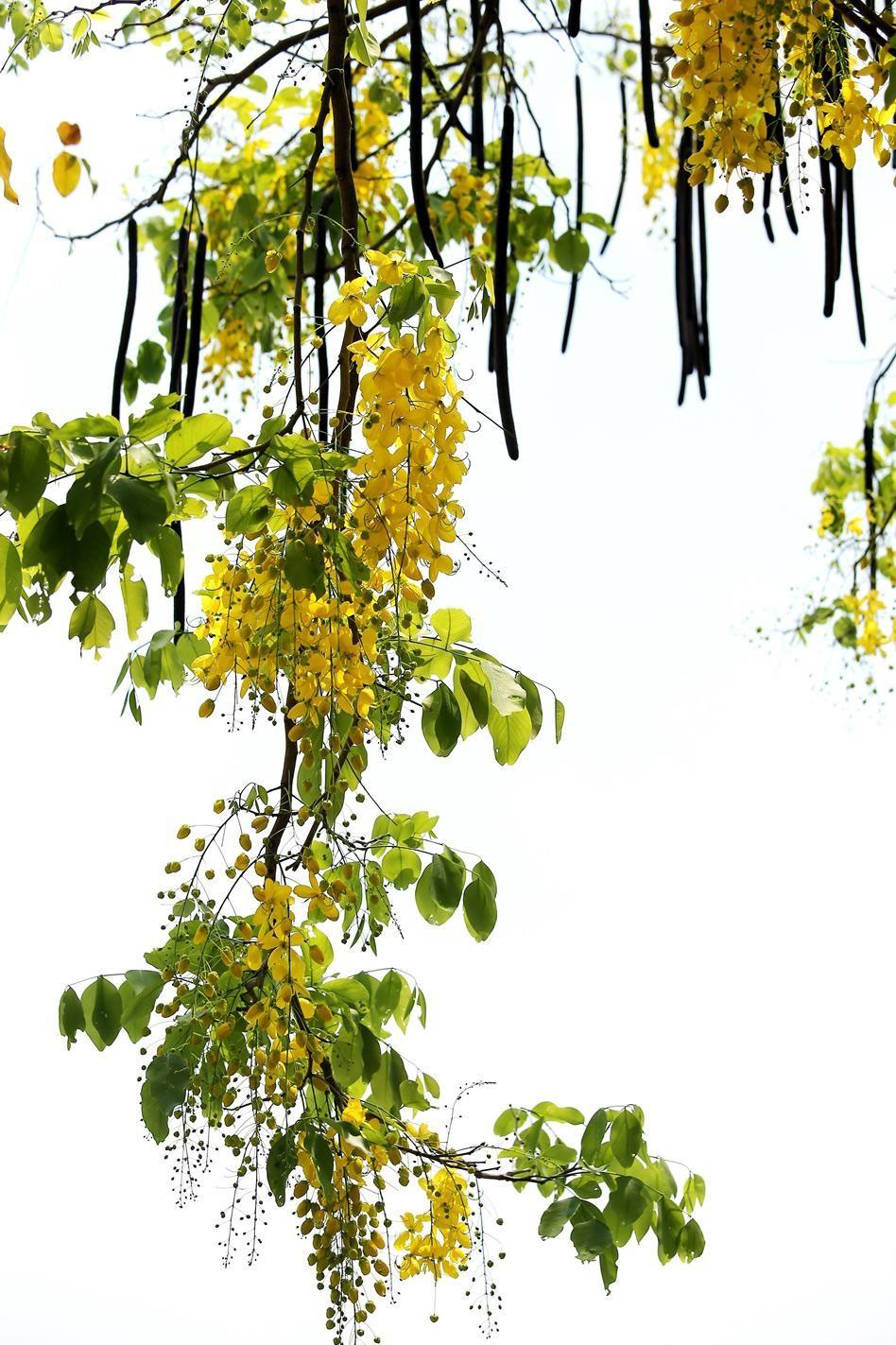 Muồng hoàng yến khoe sắc khắp phố phường Hà Nội ảnh 14