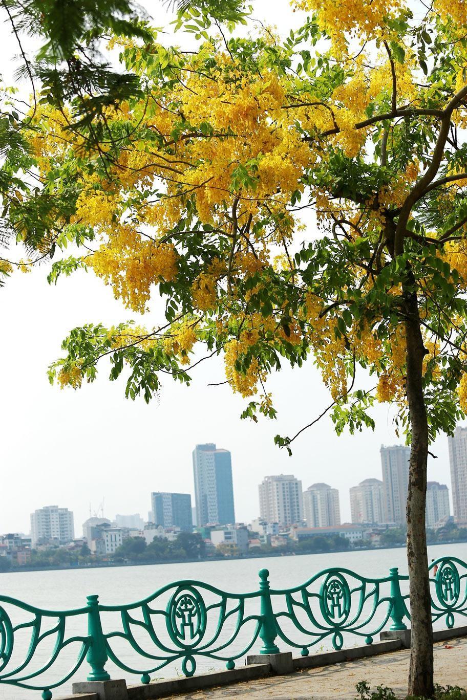 Muồng hoàng yến khoe sắc khắp phố phường Hà Nội ảnh 19