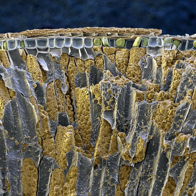 Mặt cắt của hạt lúa mỳ phóng to giúp ta có thể thấy được cấu trúc phức tạp bên trong vật thể nhỏ bé này.