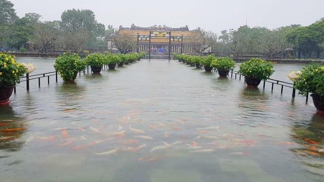 Hàng trăm con cá cảnh ở Hoàng Cung Huế... lên cầu bơi lội! ảnh 1
