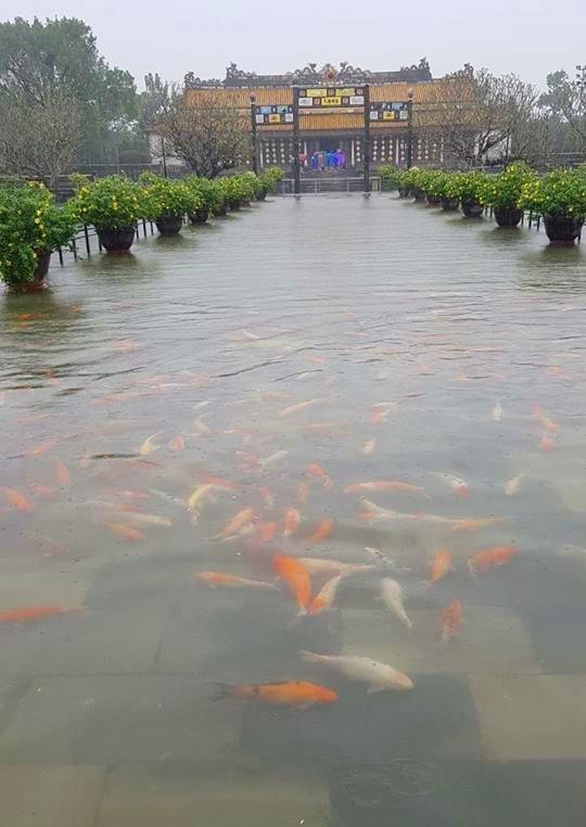 Hàng trăm con cá cảnh ở Hoàng Cung Huế... lên cầu bơi lội! ảnh 4