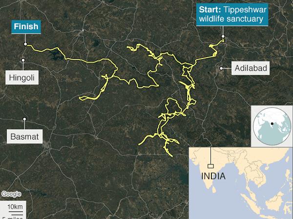 Hổ lập kỷ lục đi hơn 1.300 km trong 5 tháng ảnh 1