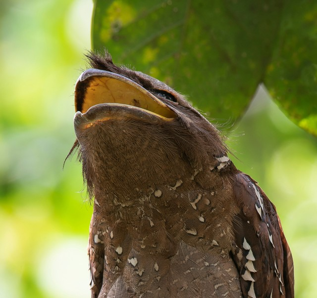 Cú muỗi mỏ cặp: Loài chim kỳ lạ, bậc thầy ngụy trang trong tự nhiên ảnh 2