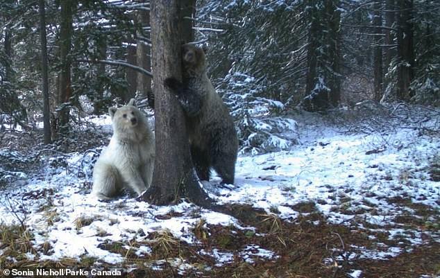 Gấu xám Bắc Mỹ có bộ lông trắng như tuyết cực kỳ quý hiếm xuất hiện ở Canada ảnh 1