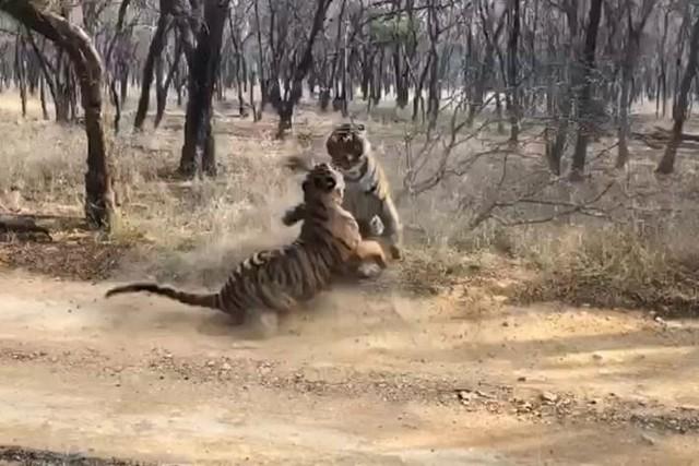 Trận so tài tranh chấp lãnh thổ kịch tính đến nghẹt thở giữa hai con hổ Bengal quý hiếm ảnh 1