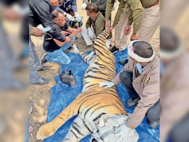 Trận so tài tranh chấp lãnh thổ kịch tính đến nghẹt thở giữa hai con hổ Bengal quý hiếm ảnh 2