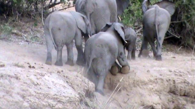 Đoàn kết như voi, cả đàn xúm lại giúp đỡ chú voi nhỏ leo dốc ảnh 1