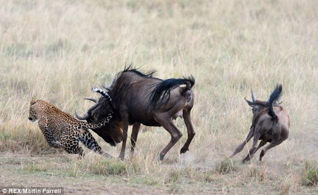 Linh dương đầu bò liều mình quyết chiến báo hoa mai giải cứu con nhỏ ảnh 2