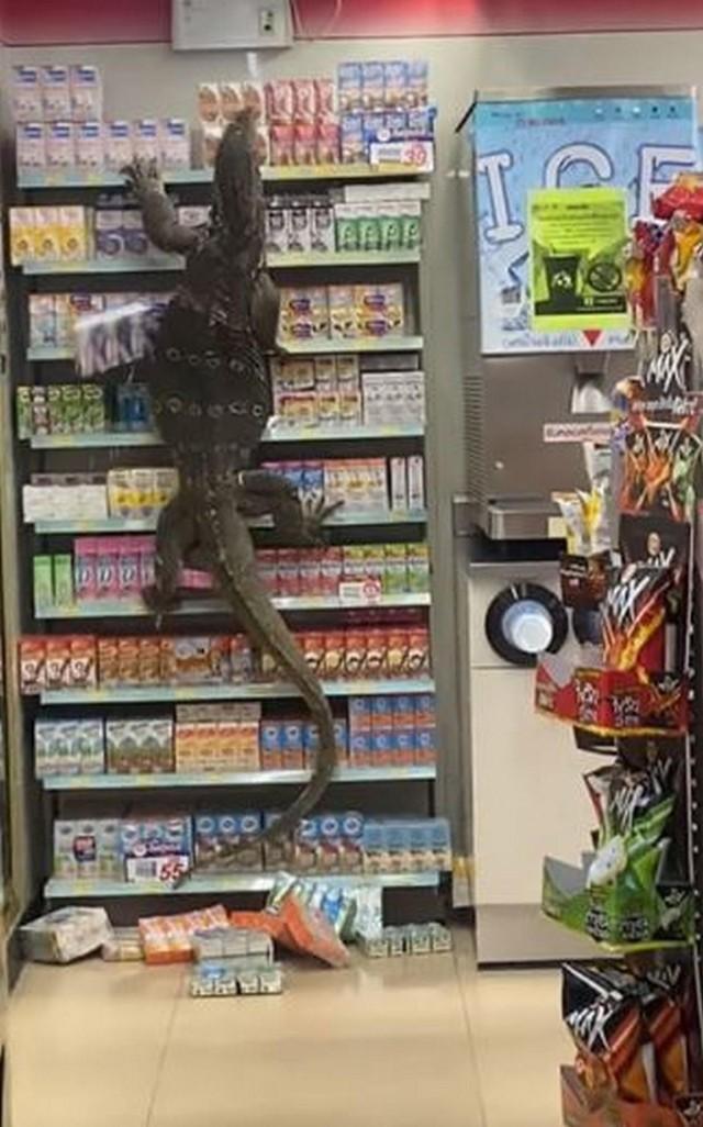 """Cuộc đổ bộ của kỳ đà """"Godzilla"""" vào cửa hàng tiện dụng 7-Eleven ở Thái Lan ảnh 1"""