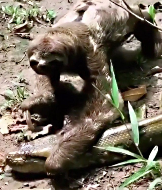 """Quá lười để phải sợ: Bị trăn Anaconda khổng lồ ngáng đường, hành động của con lười khiến kẻ săn mồi phải """"sững cả người"""" ảnh 2"""