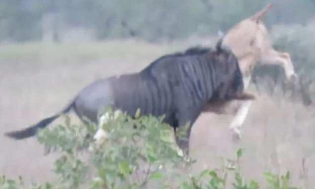 """Tinh thần chiến đấu quật cường, linh dương đầu bò """"một mình cân đôi"""" sư tử trong cuộc chiến giành sự sống ảnh 1"""