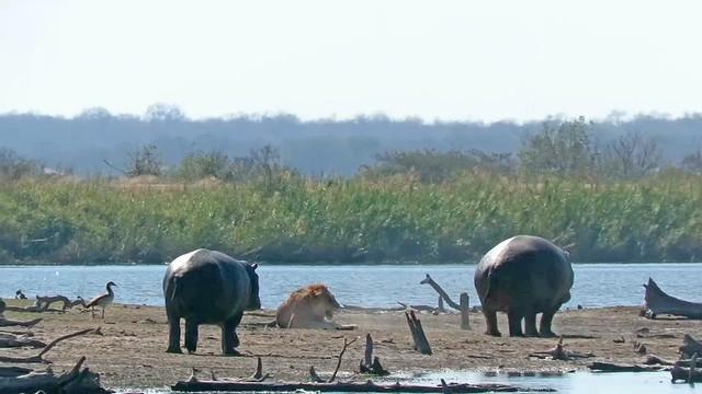 Bức xúc trước màn trừng phạt tàn bạo của nhóm sư tử, cả đàn voi lẫn hà mã xông vào can ngăn ảnh 1
