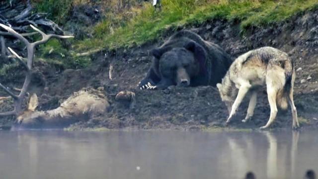Gấu xám ngủ cũng không yên giấc vì phải bảo vệ thức ăn trước sự tấn công của chó sói ảnh 1