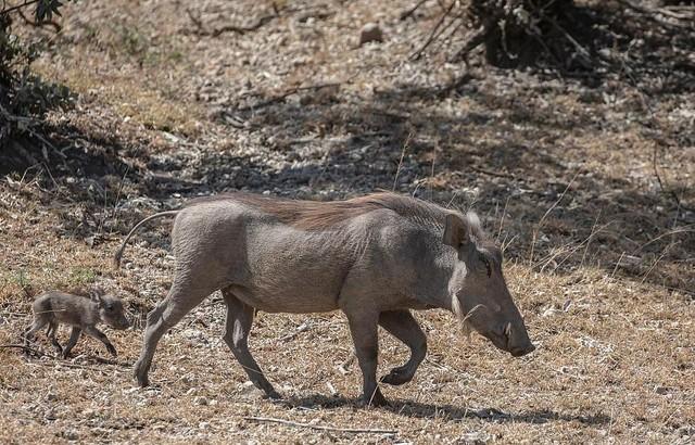 Lợn rừng châu Phi nỗ lực húc tung cả người con báo lên không trung để cứu lợn con ảnh 1