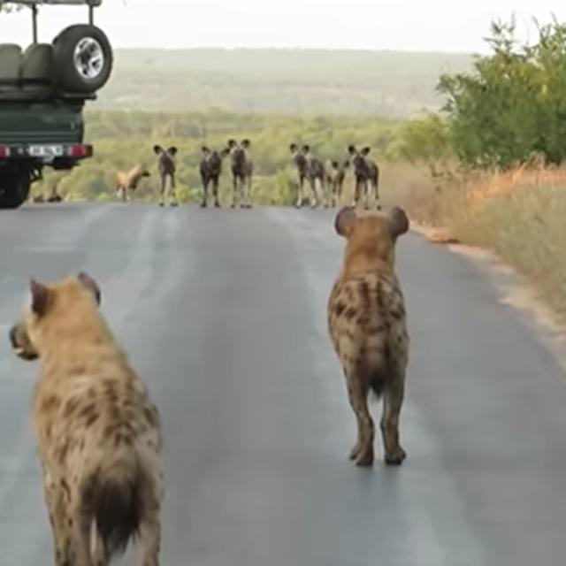 Điều gì sẽ xảy ra khi đàn linh cẩu đối đầu với đàn chó hoang thiện chiến hơn 20 con? ảnh 1