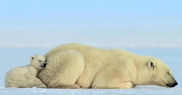 """Háo hức cùng mẹ học đi săn, gấu bắc cực con sợ đến nỗi ngã """"chổng vó"""" khi bắt gặp hải cẩu ảnh 1"""