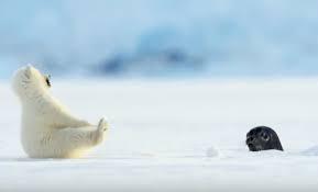 """Háo hức cùng mẹ học đi săn, gấu bắc cực con sợ đến nỗi ngã """"chổng vó"""" khi bắt gặp hải cẩu ảnh 2"""