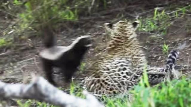 Lỡ tấn công phải con của loài lì lợm nhất thế giới động vật, báo hoa mai bị ăn đòn đau ảnh 1