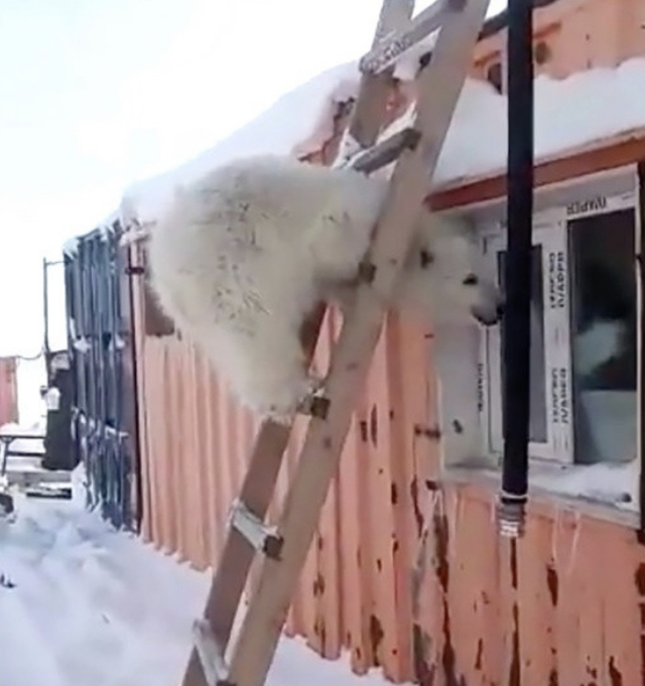 Biết ơn những người cưu mang mình từ nhỏ, gấu Bắc Cực báo đáp bằng món quà vô giá ảnh 2