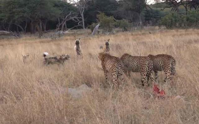 """Cuộc chiến """"cân não"""" tranh giành con mồi giữa báo săn và đàn chó hoang châu Phi ảnh 1"""