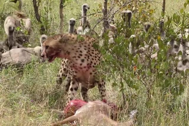 """Đàn kền kền hung hãn cướp con mồi của báo săn, chưa kịp hả hê đã bị """"nghiệp quật"""" ảnh 1"""