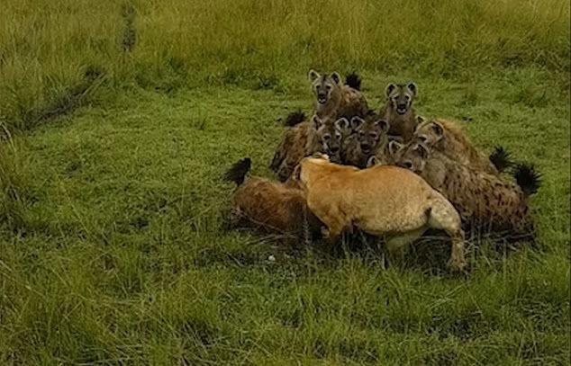 Âm mưu lật đổ ngôi vương của sư tử và cái giá phải trả cực đắt của bầy linh cẩu không biết tự lượng sức mình ảnh 2