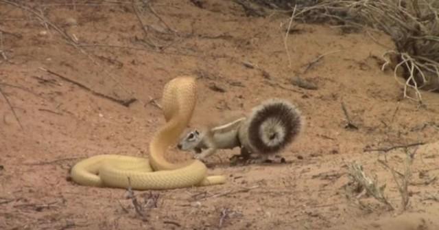 """Bằng thân pháp cực kỳ linh hoạt, sóc nhỏ biến màn đi săn của rắn hổ mang thành một """"trò lố"""" ảnh 1"""