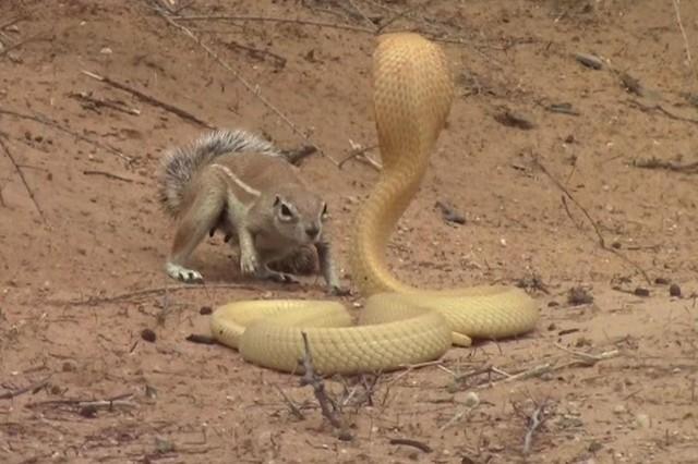 """Bằng thân pháp cực kỳ linh hoạt, sóc nhỏ biến màn đi săn của rắn hổ mang thành một """"trò lố"""" ảnh 2"""