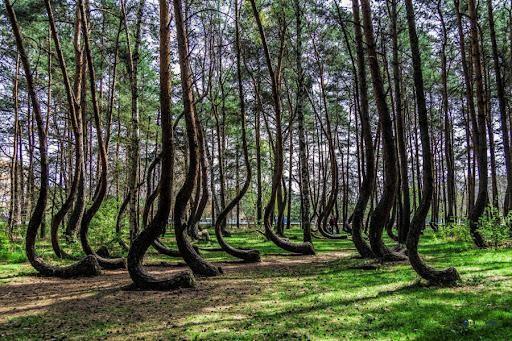 Rừng cây bí ẩn có hình dáng kỳ lạ, chưa từng tìm được lời giải đáp từ các nhà khoa học ảnh 1