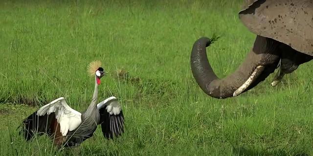 Con sếu bé nhỏ liều mạng đánh đuổi bầy voi khổng lồ để bảo vệ tổ của mình ảnh 1