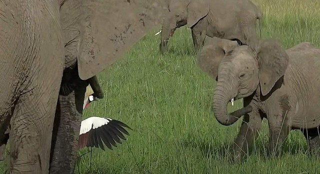 Con sếu bé nhỏ liều mạng đánh đuổi bầy voi khổng lồ để bảo vệ tổ của mình ảnh 2