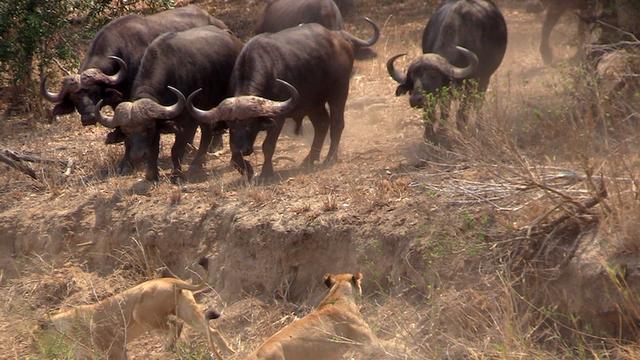 Nhờ vào sức mạnh của sự đoàn kết, đàn trâu rừng hết lần này đến lần khác chặn đứng đòn tấn công của bầy sư tử ảnh 2