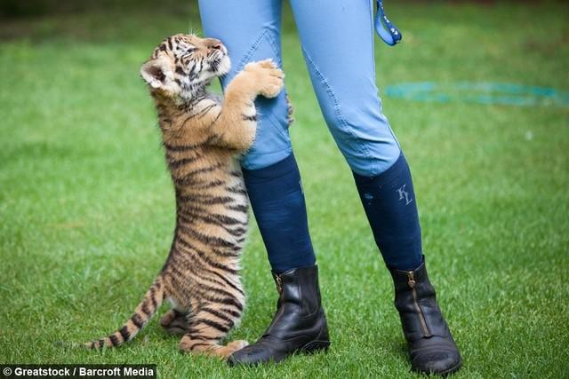 Chú sư tử Bengal bất hạnh bị mẹ ruồng bỏ, may mắn tìm lại được hơi ấm từ người bạn thân khác loài ảnh 2