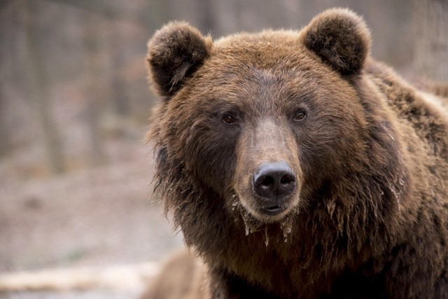 Trận ác chiến rung chuyển núi rừng của hai con gấu nâu to lớn ảnh 1