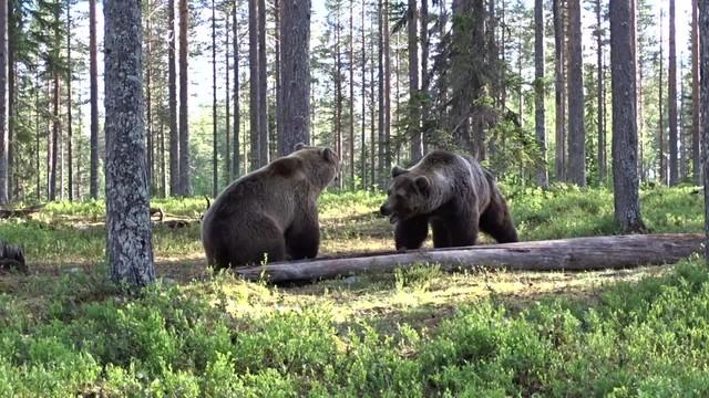 Trận ác chiến rung chuyển núi rừng của hai con gấu nâu to lớn ảnh 2