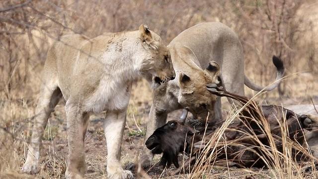 Nỗ lực không biết mệt mỏi, đấu tranh cho sự sống còn của linh dương đầu bò trước móng vuốt của bầy sư tử ảnh 1