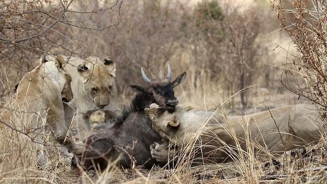 Nỗ lực không biết mệt mỏi, đấu tranh cho sự sống còn của linh dương đầu bò trước móng vuốt của bầy sư tử ảnh 2