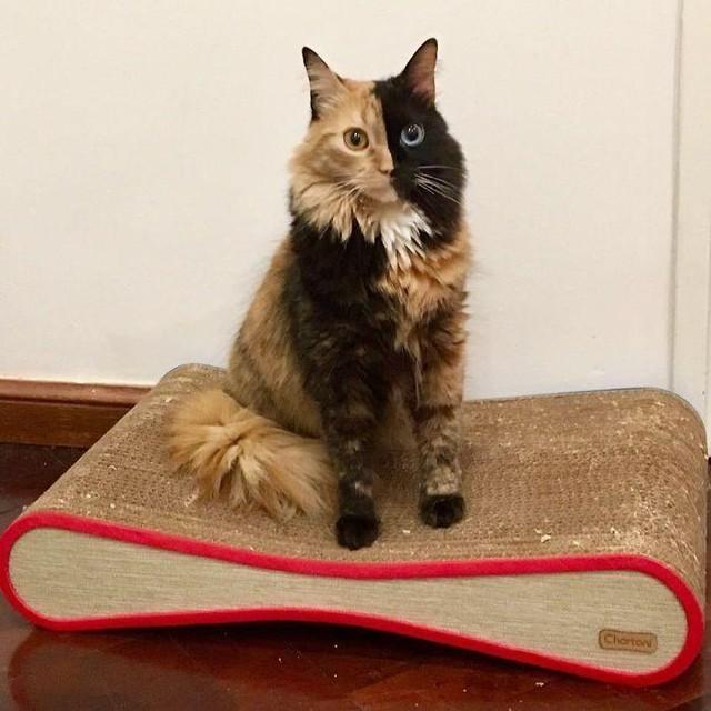 Chú mèo có vẻ đẹp kỳ lạ, khuôn mặt như được dung hợp từ hai con mèo khác nhau ảnh 2