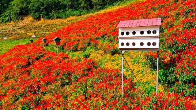 Có một mùa thu gây thương nhớ trên những triền hoa Fansipan ảnh 7