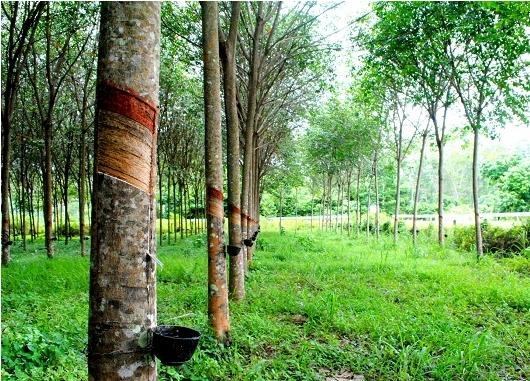 Cao su Phước Hòa (PHR) bàn giao đất cho Khu công nghiệp Nam Tân Uyên