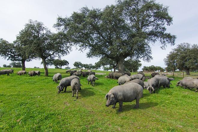 Có nguồn gốc từ lợn rừng trên bán đảo Iberia, lợn đen Ibérico được thuần hóa qua hàng thế kỷ. Ảnh: David MG.