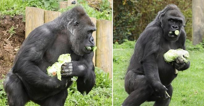 Bắt chước con người, khỉ đột cũng dự trữ lương thực mùa dịch bệnh