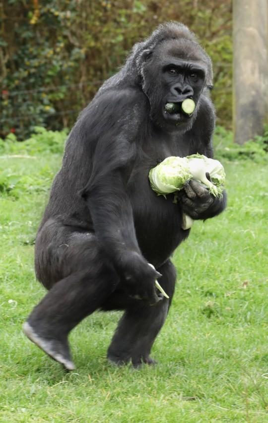 Bắt chước con người, khỉ đột cũng dự trữ lương thực mùa dịch bệnh ảnh 1